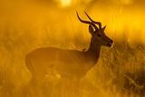 Impala, Moremi Game Reserve, Botswana Photographie par Paul Souders
