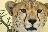 Cheetah, Ngorongoro Conservation Area, Tanzania Photographic Print by Paul Souders