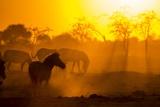 Plains Zebra, Makgadikgadi Pans National Park, Botswana Fotografisk tryk af Paul Souders