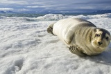 Bearded Seal, Svalbard, Norway Photographic Print by Paul Souders