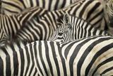 Plains Zebra, Chobe National Park, Botswana Fotografisk tryk af Paul Souders