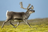 Reindeer, Svalbard, Norway Photographic Print by Paul Souders