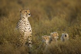 Cheetah Cubs and their Mother Photographic Print by Paul Souders