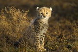 Cheetah Cub at Ngorongoro Conservation Area, Tanzania Fotografisk tryk af Paul Souders
