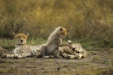 Cheetah Cub and Mother Fotografisk tryk af Paul Souders
