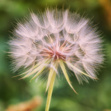 Dandelion Portait Photographic Print by Vincent James
