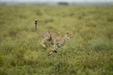 Cheetah Running Photographic Print by Paul Souders