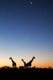 Giraffe, Makgadikgadi Pans National Park, Botswana Fotografisk tryk af Paul Souders
