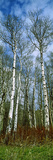 Birch Trees in a Forest, Us Glacier National Park, Montana, USA Photographic Print