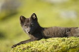 Arctic Fox, Svalbard, Norway Photographic Print by Paul Souders