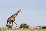 Giraffe, Nxai Pan National Park, Botswana Photographic Print by Paul Souders
