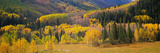 Aspen Trees in a Field, Telluride, San Miguel County, Colorado, USA Photographic Print