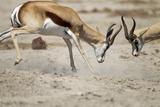 Sparring Impala, Nxai Pan National Park, Botswana Photographic Print by Paul Souders