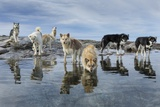 Sled Dogs, Nunavut, Canada Photographic Print by Paul Souders