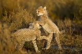 Playing Cheetah Cubs Photographic Print by Paul Souders