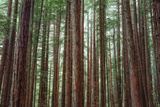 Majestic Trees, John Muir Woods Photographic Print by Vincent James