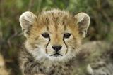 Cheetah Cub at Ngorongoro Conservation Area, Tanzania Fotografisk tryk af Paul Souders