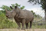 White Rhino, Sabi Sabi Reserve, South Africa Reprodukcja zdjęcia autor Paul Souders