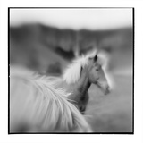 Icelandic Ponies, Iceland Photographic Print by Paul Souders
