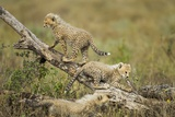 Cheetah Cubs at Ngorongoro Conservation Area, Tanzania Photographic Print by Paul Souders
