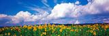 Fields of Sunflowers Rudesheim Vicinity Germany Photographic Print