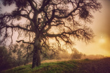 Old Oak, Sun and Fog, Mount Diablo Photographic Print by Vincent James
