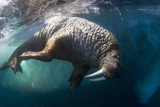 Underwater View of Walrus, Hudson Bay, Nunavut, Canada Photographic Print by Paul Souders