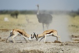 Sparring Impala, Nxai Pan National Park, Botswana Photographic Print by Paul Souders