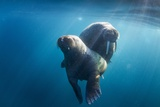 Walrus and Calf, Hudson Bay, Nunavut, Canada Photographie par Paul Souders
