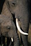 Elefantes africanos Lámina fotográfica por Paul Souders