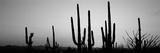 Silhouette of Saguaro Cacti (Carnegiea Gigantea) on a Landscape, Saguaro National Park, Tucson Fotografisk tryk