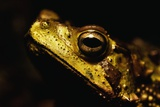 Green Climbing Toad Photographic Print by Paul Souders