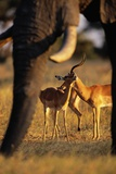 Impalas and Blurred Elephant Trunk Photographic Print by Paul Souders