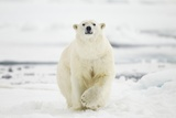 Polar Bear, Svalbard, Norway Photographic Print by Paul Souders