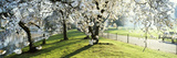 Cherry Blossom in St. James's Park, City of Westminster, London, England Photographic Print