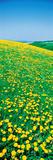 Fields of Dandelions Hokkaido Biei-Cho Japan Photographic Print