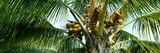 Coconuts on a Palm Tree, Varadero, Matanzas Province, Cuba Photographic Print