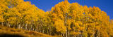 Low Angle View of Aspen Trees in a Forest, Telluride, San Miguel County, Colorado, USA Photographic Print