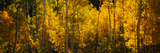 Aspen Trees in a Forest, Telluride, San Miguel County, Colorado, USA Photographic Print