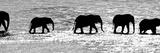 Herd of African Elephants (Loxodonta Africana) Crossing the River, Uaso Nyiro River Fotografisk tryk