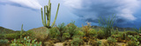 Cacti Growing at Saguaro National Park, Tucson, Arizona, USA Photographic Print