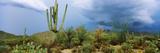Cacti Growing at Saguaro National Park, Tucson, Arizona, USA Photographic Print