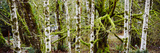 Mossy Birch Trees in a Forest, Lake Crescent, Olympic Peninsula, Washington State, USA Photographie
