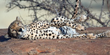 Cheetah (Acinonyx Jubatus) Resting in a Forest, Samburu National Park, Rift Valley Province, Kenya Photographic Print