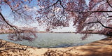 Cherry Blossom Trees in the Tidal Basin with the Jefferson Memorial in the Background Photographic Print