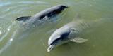 Dolphins in the Sea, Varadero, Matanzas Province, Cuba Photographic Print