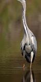 Side Profile of a Grey Heron (Ardea Cinerea) Preparing to Take Off, Lake Naivasha, Kenya Photographic Print