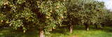 Pear Trees in an Orchard, Hood River, Oregon, USA Photographic Print