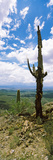 Saguaro Cactus on a Hillside, Tucson Mountain Park, Tucson, Arizona, USA Photographic Print