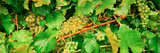 Ripe Green Grapes on the Vine, Quebec, Canada Photographic Print